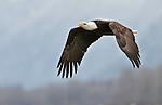 Bald Eagle, Chilkat Bald Eagle Preserve, Haines, Alaska