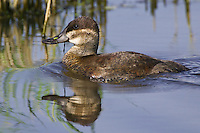 Ruddy Duck hen swimming on a pond