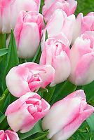 Tulipa Akela pink and white single late tulips in spring bulbs flowers