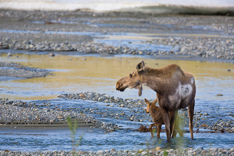 Cow and spring calf moose, Phelan creek, interior, Alaska.