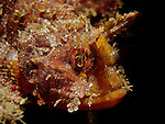 Kenting, Taiwan -- A small scorpionfish so well camouflaged that it seems to grow right out of the rock!