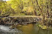 Beaver dam, Verde River, Arizona, USA