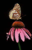 Silver bordered Fritillary butterfly on Echinacea purpurea purple coneflower flower with black background for cutout showing details of insect and bloom