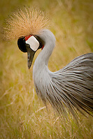 The grey crowned crane has a breeding display involving dancing, bowing, and jumping. It has a booming call which involves inflation of the red gular sac. It also makes a honking sound quite different from the trumpeting of other crane species. The grey crowned crane is the national bird of Uganda and features in the country's flag and coat of arms.