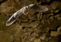 Mexican Brown Bat or Cave Myotis flying in a cave (Myotis velifer)