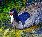 Coot in Shallow Water 2, Bolsa Chica, CA