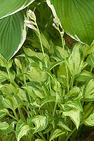 Hosta 'Allegan Fog' (v)