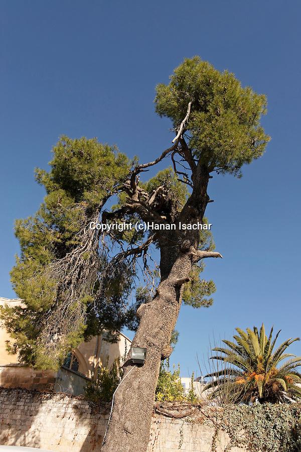 Israel, Aleppo Pine Tree in Jerusalem Old City