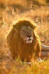 A lion rests in sunlight, Masai Mara National Park, Kenya