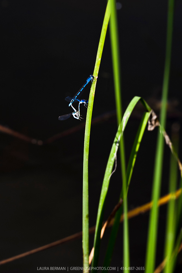 Damselflies mating in a wetland.