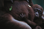 Lowland gorilla and infant, Uganda