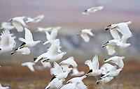 Flock of willow ptarmigan in flight on the arctic north slope, Alaska.