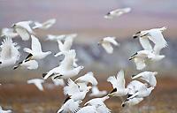 Flock of willow ptarmigan in flight on the arctic north slope, Alaska.