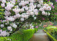 Shore Acres State Park, OR: A flowering rhododendron arches over one of the pathways in the Simpson Estate Garden in spring