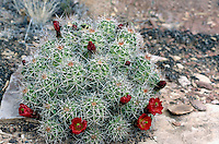 CLARET CUP  &amp; HEDGEHOG CACTUS<br /> Claret Cup<br /> Echinocereus triglochidatus Canyonlands National Park
