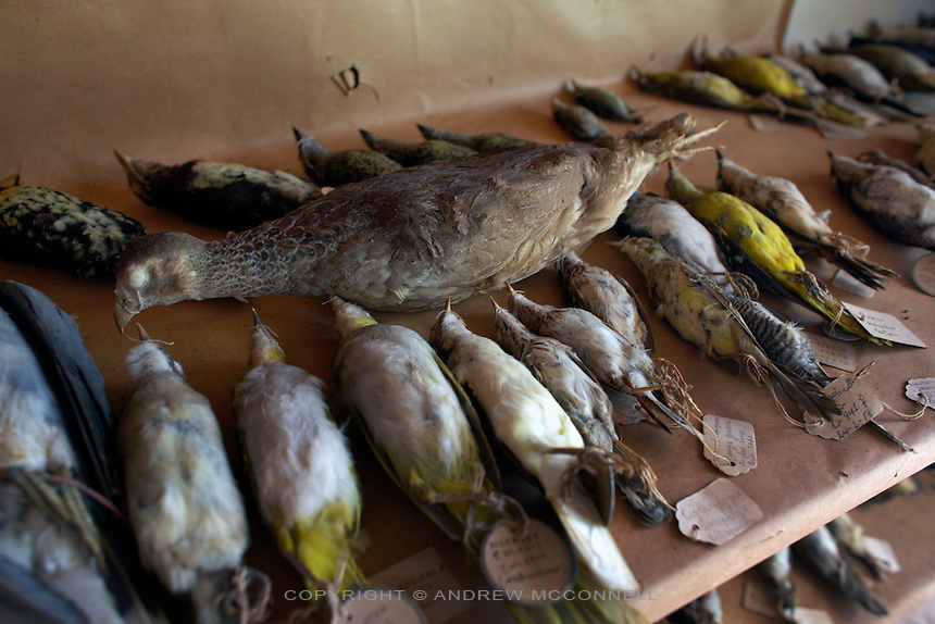 Some of the bird collection still present in the Herbarium at Yangambi, DR Congo, on Wednesday, Dec. 10, 2008. Many of the birds were stolen when Uganda soldiers, who passed through Yangambi in the late 90's, took them as trophies or to sell back home. .The Herbarium contains over 100,000 plant specimens; each one is at least 50 years old and was collected by the Belgians from all over Congo, Rwanda and Burundi. It represents a complete survey of everything in the Congo, unfortunately however much of the animal collection has been lost or stolen. .Yangambi Research Station is the former Belgian headquarters for all major scientific ecological, biological and agricultural research in Africa between the 1930's and 1960. Abandonment began in 1960 with Independence and although Congo attempted to maintain Yangambi, sometimes in co-operation with the Belgians, the facility began to fall into disrepair through the 70's and 80's. War in the 1990's halted all potential for progress and for the past decade a skeleton crew has made a futile attempt to stave off further decline.