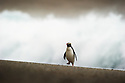 Fiordland crested penguin (Eudyptes pachyrhynchus) Westland, New Zealand, Vulnerable species