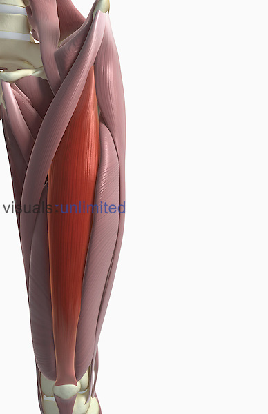 An anterior view of the muscles of the upper leg relative to the skeleton. The rectus femoris is highlighted. Royalty Free