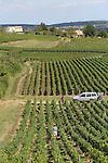 Foto: VidiPhoto<br /> <br /> CHARDONNAY/FLEURIE - Wijnboeren in de Franse Bourgogne doen hun best om de komende oogst te redden door zoveel mogelijk blad weg te knippen bij de druiventrossen. In grote delen van de Bourgogne heeft het de afgelopen maanden nauwelijks geregend, waardoor de vruchten klein van omvang zijn. Kleine druiven betekent minder wijn en vermoedelijk hogere prijzen. Daarentegen wordt door de uitzonderlijke hoeveelheid zon een topkwaliteit verwacht, waardoor naar verwachting de vraag naar de wijnen van 2015 uit deze streek flink zal stijgen.