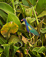 Purple Gallinule waking through Green Arum in Green Cay Wetlands, Florida