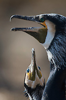 Great Cormorant (Phalacrocorax carbo sinensis), Ijsselmeer, The Netherlands