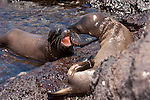 South Plazas Island, Galapagos, Ecuador; two very young Galapagos Sea Lions (Zalophus wollebaeki) play fight in the shallow pool of water and amongst the volcanic rocks that doubles as their rookery , Copyright © Matthew Meier, matthewmeierphoto.com All Rights Reserved