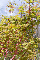 Acer palmatum Sango-kaku Coral Bark Japanese Maple in spring, Coral Bark maple tree