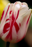Close-up of red and white striped Tulipa 'Sorbet' in spring, Creekside Gardens, Roberts Creek, BC