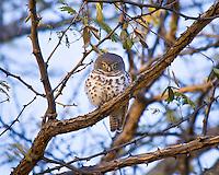 African Barred Owl, Elephant Valley Lodge, Botswana