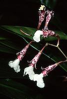 Rodriguezia decora Orchid species native to Brazil