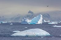 Pygoscelis antarcticus, Antarctic peninsula.