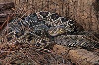 467004002 a captive eastern diamondback rattlesnake crotalus adamanteus lays coiled in striking position and sensing the environment with its tongue - species is native to the southeastern united states