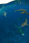 "Blacktip reef shark swimming around Middleton Reef, is a coral reef in the Tasman Sea..The blacktip reef shark, Carcharhinus melanopterus, is a shark of tropical and warm temperate seas..Distribution.One of the most common sharks found in shallow (sometimes as shallow as 30 cm) water around coral reefs of Indo-Pacific waters. The water they swim in is usually between 20 and 27° C (70 to 80º F). Blacktip reef sharks do not venture into tropical lakes and rivers far from the ocean..Appearance.As its name suggests, the tips of the shark's pectoral fin and dorsal fin are black, with a white underside. Its skin is brownish in color on the top half of its body. It has been recorded at up to 2 m (6.5 ft) in length and over 99 lbs (45 kg) in weight.[1] Its snout is blunt and rounded. The gray reef shark looks similar, and is also common, but is distinguished by its stockier and grey body and its lack of a black tip on the dorsal fin..Diet.A blacktip reef shark's diet consists mainly of reef fish, but they will also feed on rays, crustaceans, cephalopods, and other molluscs..Reproduction, behavior, and interaction with humans.Reproduction is viviparous, with 2 to 4 pups in a litter. Before giving birth, female blacktip reef sharks will incubate their young for 16 months. The pups' length at birth ranges from 33 to 52 cm..This species is not considered social, but can be seen in small groups. While generally shy, they often are curious about snorkelers and scuba divers. As with most sharks, the body is bent into a sort of ""S"" shape when the shark feels threatened. Blacktip reef sharks are harmless unless provoked. Incidents generally involve hand feeding or spear fishing, possibly in combination with low visibility..The blacktip is one of only a few sharks that can jump fully out of the water, a behaviour called breaching. They have also been observed surfacing to look around (spy-hopping).. Population decline.Blacktip reef sharks are often the bycatch from other fisheries an"