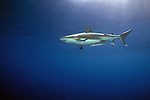 Gray Reef Shark, carcharhinus perezi in mid water close to surface, sunrays, Underwater Marine life Behavior, Bahamas,Atlantic Ocean.