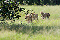 Three cheetahs walking through the tall grass, Botswana, Africa