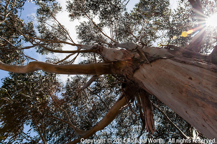 Looking up from the foot of a eucalyptus tree at Oyster Bay Regional Shoreline.