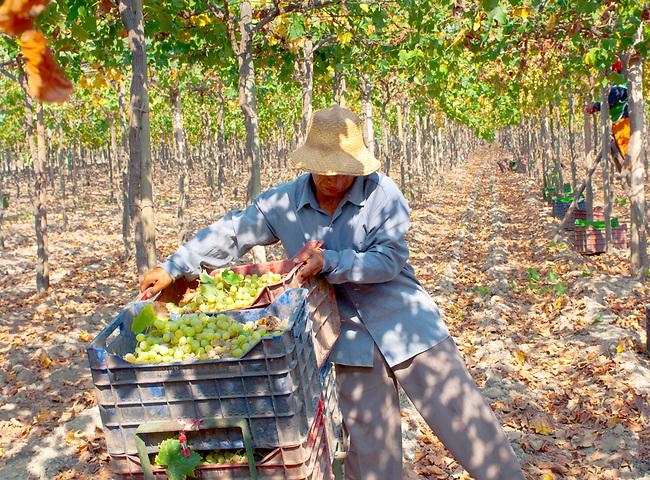 Lima, Peru, Tabernero Winery & Vineyards, Valley Of Chincha, Ica Province