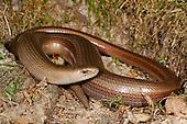 Slow Worm Legless Lizard (Anguis fragilis), Romania.