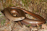 Slow Worm Legless Lizard (Anguis fragilis), Romania.