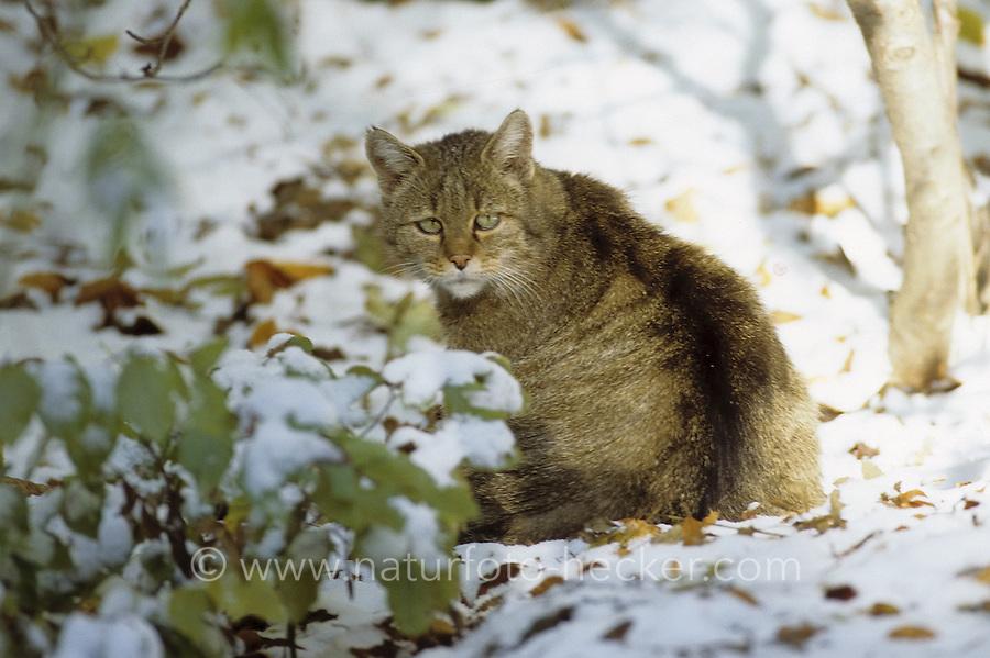 Wildkatze, Wild-Katze, Katze, Felis silvestris, wild cat