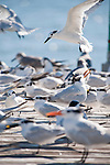 Captiva Island, Florida; a Sandwich Tern (Thalasseus sandvicensis) bird landing on a wooden pier covered with a flock of Royal Tern (Thalasseus maximus) and Sandwich Tern (Thalasseus sandvicensis) birds © Matthew Meier Photography, matthewmeierphoto.com All Rights Reserved
