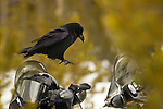 A common raven prepares to land on a snowmobile in Yellowstone National Park, Wyoming.  Ravens here often will plunder the unattended backpacks and lunchboxes of snowmobilers.  Photo by Gus Curtis.