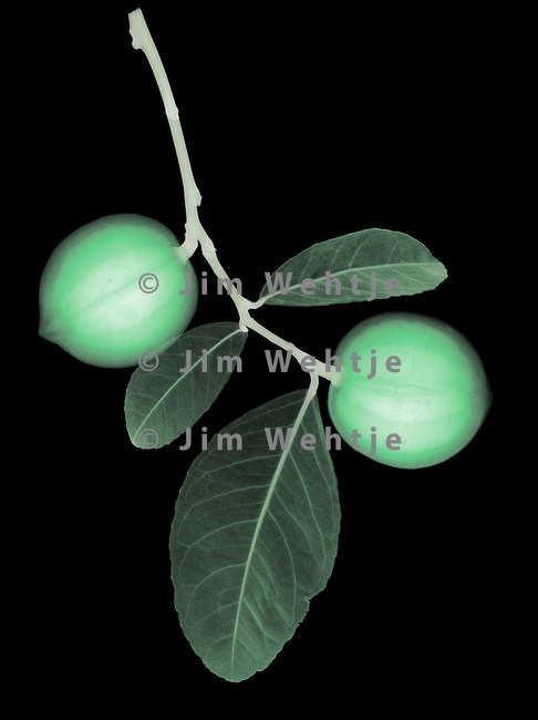 X-ray image of immature Meyer lemons (color on black) by Jim Wehtje, specialist in x-ray art and design images.