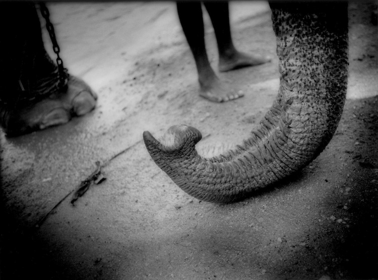 Elephant's trunk finger, Kandy, Sri Lanka.  There are 121 Sanskrit names for elephant.  In one of them, the elephant is called the animal with one hand..