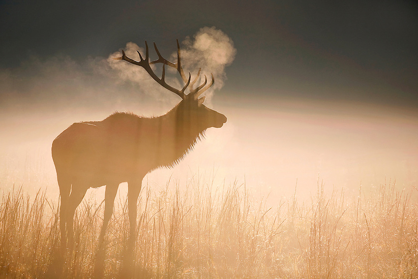 """""""BULL ELK AT DAWN"""" -- A bull elk at dawn in the Cataloochee Valley region of Great Smoky Mountains National Park. Located on the border of North Carolina and Tennessee in the southern Appalachian mountains."""