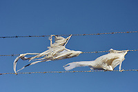 Plastic bags caught on barbed wire and blowing in the breeze, in a suburb of Melbourne. The Australian Department of Environment estimates that around 50 million bags per year end up as litter like this in Australia alone