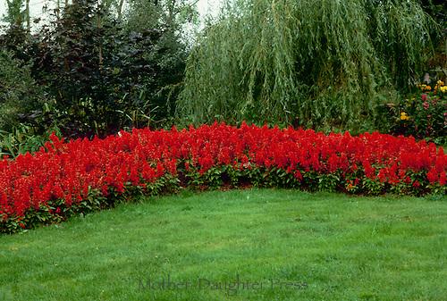 Red Saliva Farinacea marking garden border