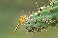 362750007 a wild female spot-winged meadowhawk sympetrum signiferum perches on a cactus plant in las cienegas state natural area santa cruz county arizona united states