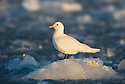 Ivory Gull (Pagophila eburnea) resting on ice, Spitsbergen, Svalbard