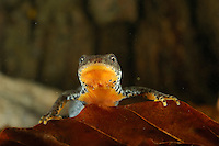 Alpine Newt (Triturus alpestris) female.